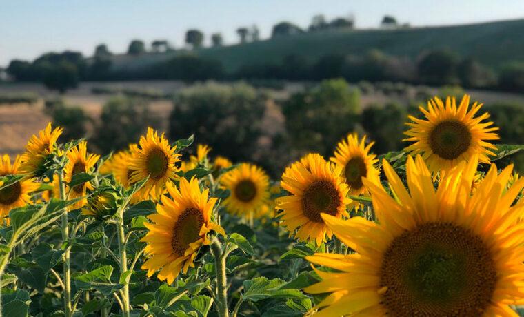 perte02_countryhouse_senigallia_sunflowers_marche_private villa